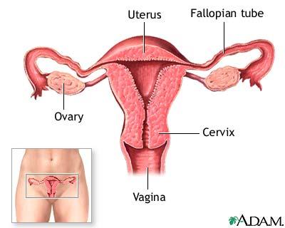 Anatomi organ kandungan : rahim (uterus), saluran telur (fallopian tube), indung telur (ovary), mulut rahim (cervix) dan vagina. (Diambil dari : http://mutialailani.files.wordpress.com/2011/09/female-anatomy1.jpg )